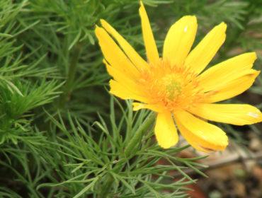 Adonisröschen – Adonis vernalis