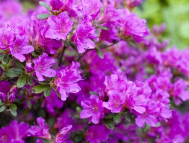 Azalee – Rhododendron simsii