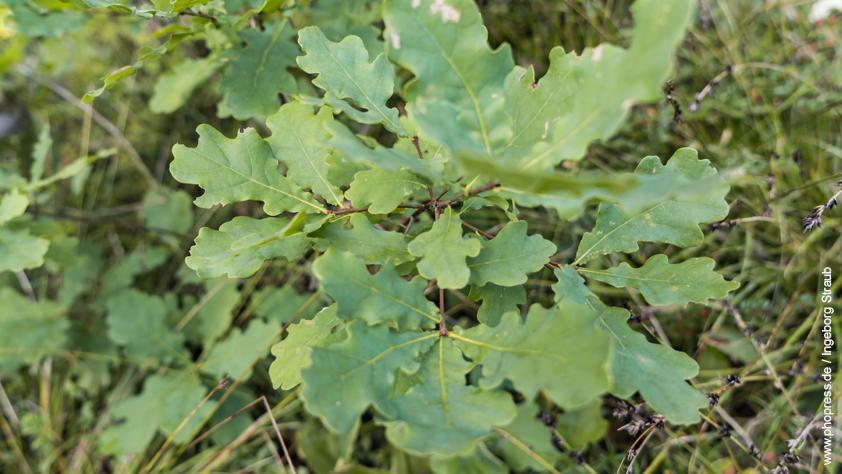 Eiche – Quercus robur
