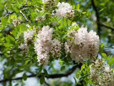Robinie (falsche Akazie) – Robinia pseudoacacia