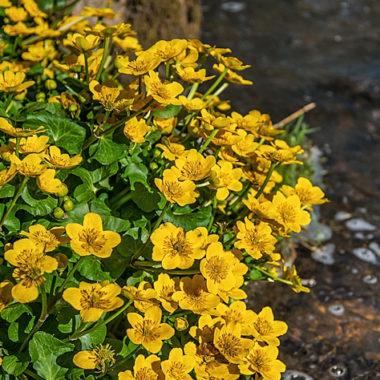 Sumpfdotterblume – Caltha palustris