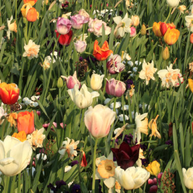 Tulpe – Tulipa gesneriana