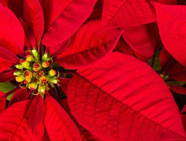 Weihnachtsstern – Euphorbia pulcherrima