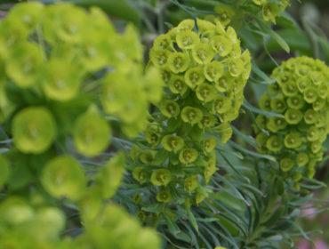 Wolfsmilch – Euphorbia