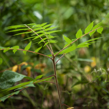 Essigbaum – Rhus typhina