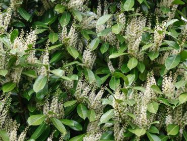 Kirschlorbeer – Prunus laurocerasus