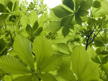 Roßkastanie – Atropa bella-donna