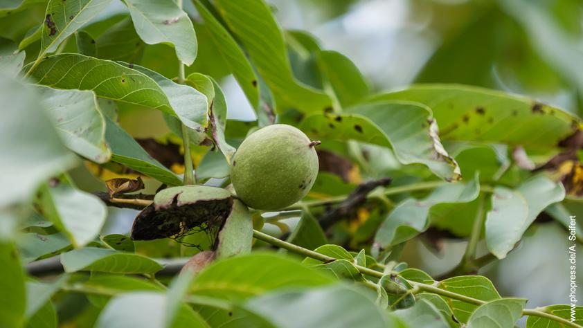 Walnussblätter – Juglans regia – Giftpflanze und Heilpflanze