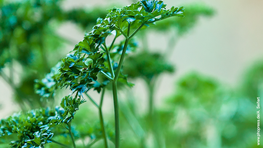 Petersilie – Petroselinum crispum – Das Powerkraut