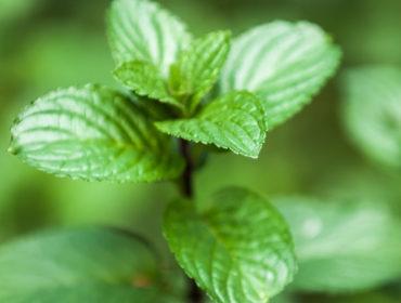 Pfefferminze – Duftendes und erfrischendes Heilkraut