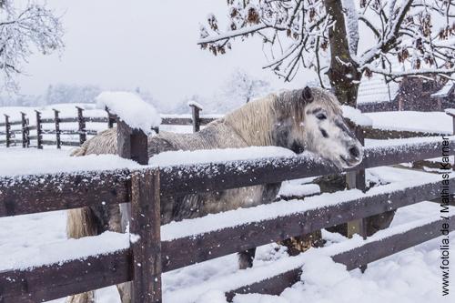 Offenstallhaltung im Winter. Pony steht mit dichtem Winterfell im Schnee.