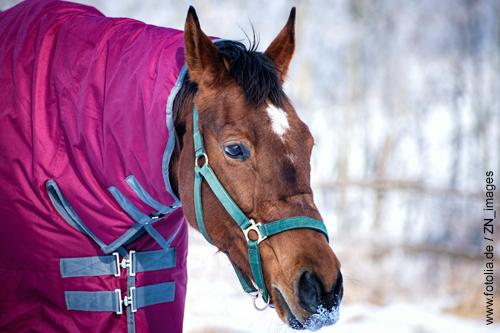Geschorenes Pferd mit Winterdecke auf der Koppel.