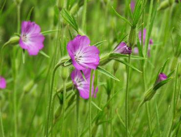 Kornrade – Agrostemma githago