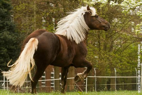 Das Schwarzwälder Kaltblut ist eine Pferderasse die sich besonders für schwere Waldarbeit eignet.