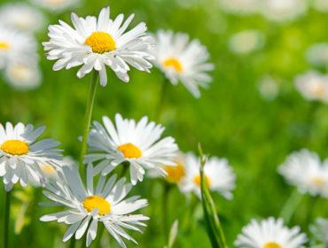 Gänseblümchen – Heilpflanze des Jahres 2017