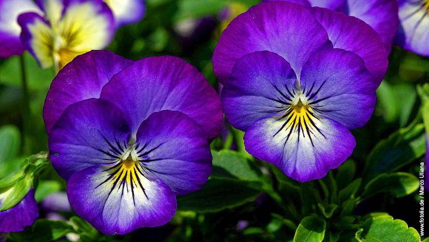 Stiefmütterchen – Viola tricolor