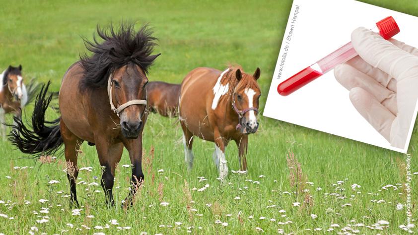 Equine infektiöse Anämie – EIA