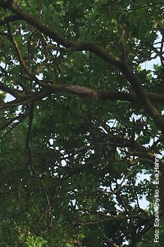 Nest des Eichenprozessionsspinners in der Baumkrone einer Eiche, Foto: Eva Hahne