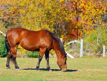 Tod durch Ahornsamen – Pferde sterben an Weidemyopathie