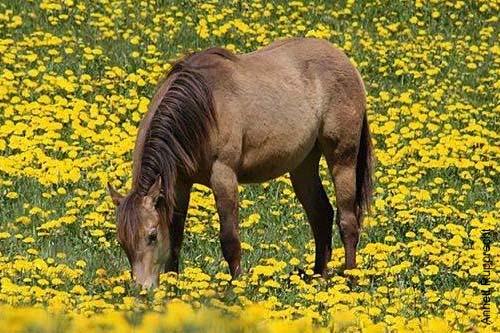 American Quarter Horse in der Farbe Dark Buckskin auf einer Löwenzahnwiese