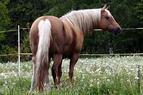 Ein Palomino American Quarter Horse ohne Abzeichen.