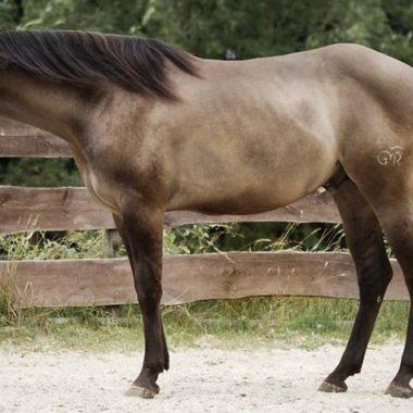 Ein Mausfalbe American Quarter Horse ohne Abzeichen.