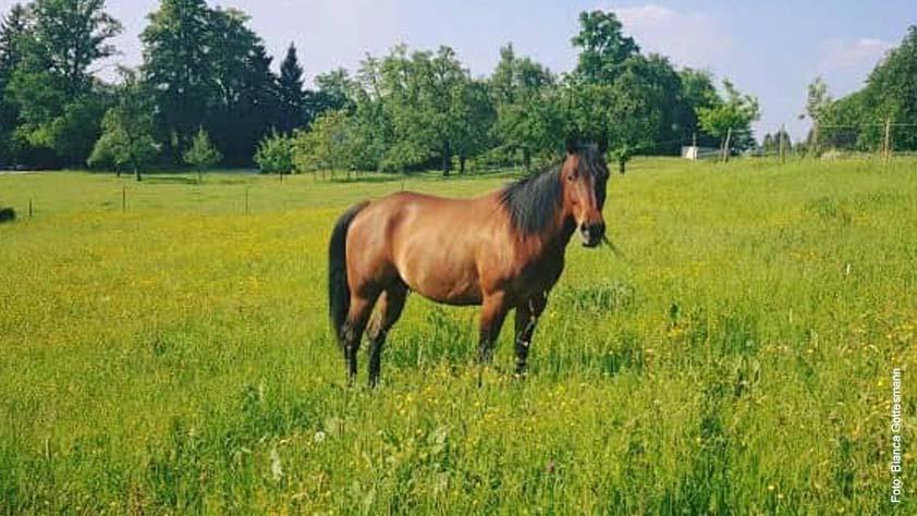 American Quarter Horse in der Farbe Bay (Braun)