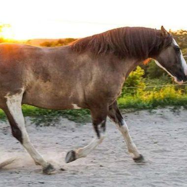 Pferderasse Criollo