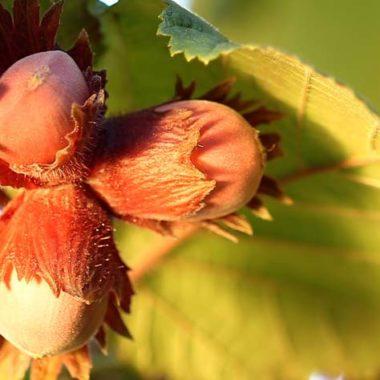 Gesunde Pflanzen für Pferde - Haselnuss
