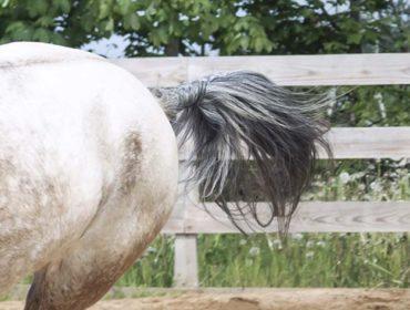 Schweif bei einem galoppierenden Pferd