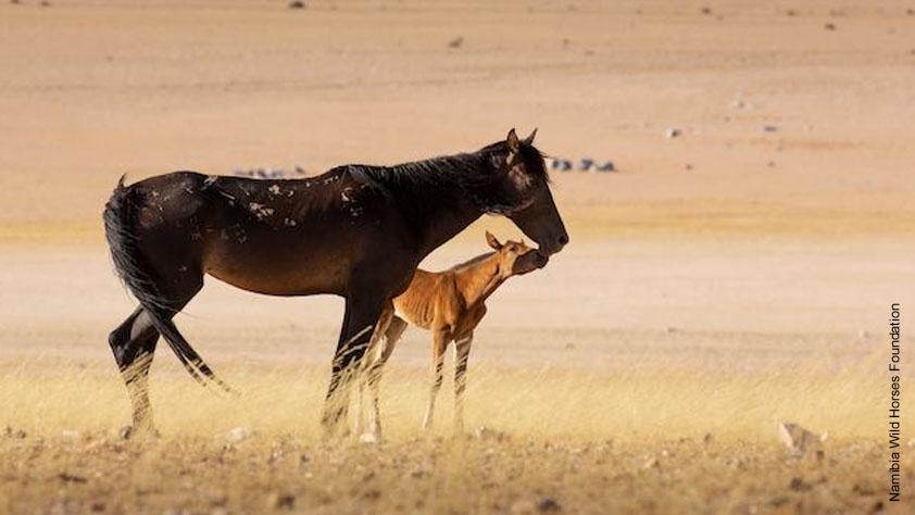 Stute mit Fohlen mit deutlicher Sichtbarkeit der Zeichnung auf dem Rücken der Stute. Die genetisch bedingte Zeichnung wird Schnürung, Giraffenzeichnung oder Spinnennetzmuster genannt. Foto: Namibia Wild Horses Foundation