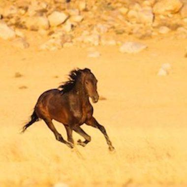 00019-namib-wilde-pferde-wildpferde-namibia-wild-horses-foundation
