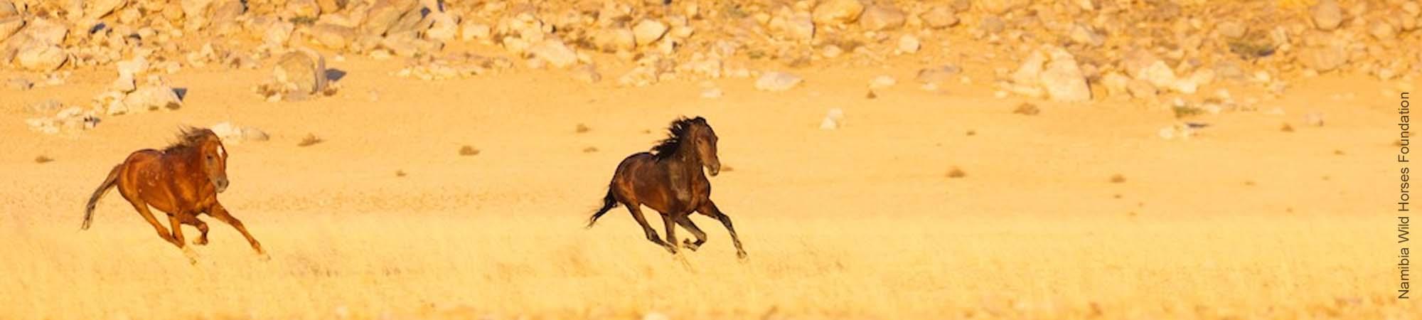 Namibs sind die wilden Pferde (Wildpferde) der Namib-Wüste in Namibia