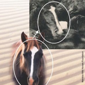 000366-namib-wilde-pferde-wildpferde-namibia-wild-horse-foundation