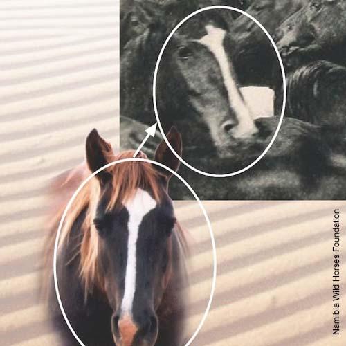 Namibs - Wilde Pferde in der ältesten Wüste der Welt, der Namib.