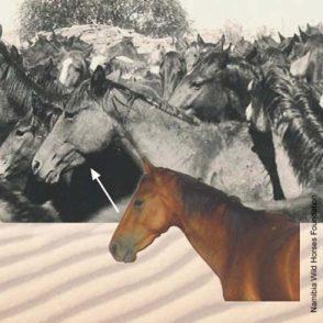 000367-namib-wilde-pferde-wildpferde-namibia-wild-horse-foundation