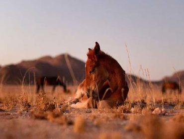 Namibs - die wilden Wüstenpferde in der ältesten Wüste der Welt - der Namib-Wüste in Namibia.