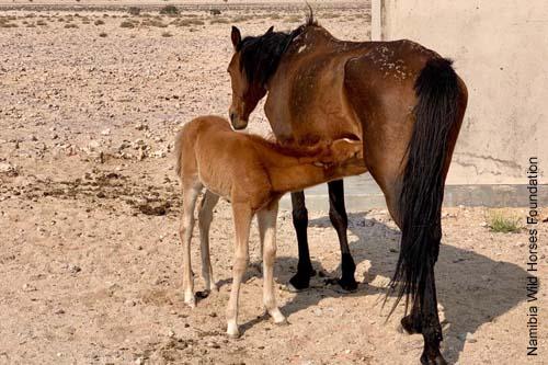 Nambi Stute mit Fohlen - Wüstenpferd der Nambi-Wüste