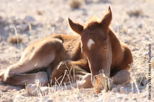 Nambi Fohlen - Wüstenpferd der Nambi-Wüste
