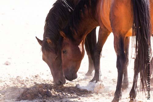 Wüstenpferde fressen häufig Pferdeäppel