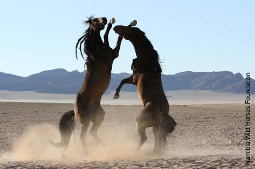 000391-namib-wilde-pferde-wildpferde-wuestenpferd-namibia-wild-horse-foundation