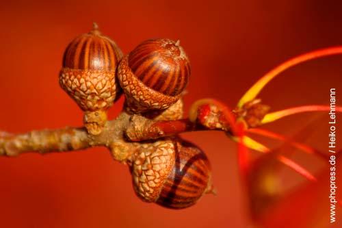 Braune Eicheln enthalten weniger Tannin als grüne Eicheln.