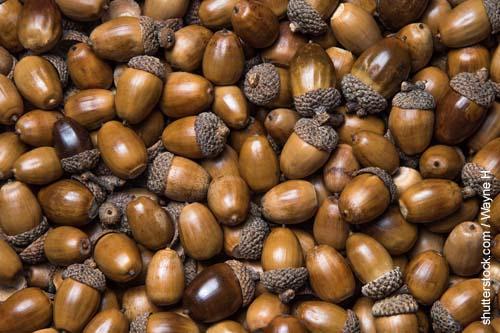 Trockene Eicheln enthalten weniger Tannin als grüne Eicheln.