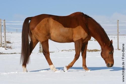 Teilgeschorenes Pferd im Winter