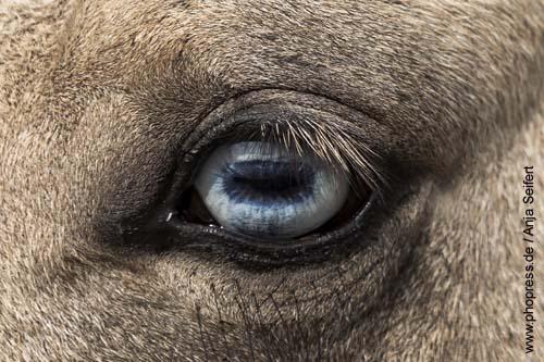 Blaue Augen beim Pferd