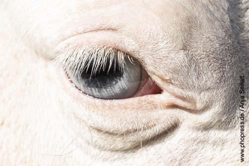 Graue Augen beim Pferd