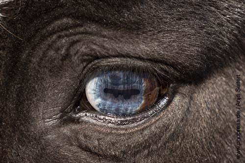 Mehrfarbige Augen beim Pferd