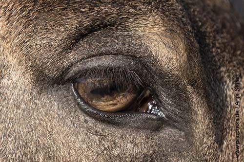Hellbraune Augen beim Pferd