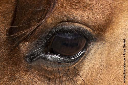 Braune Augen beim Pferd
