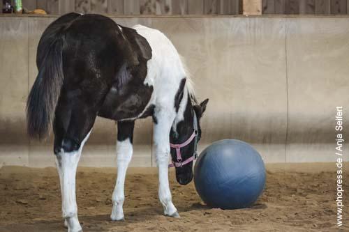 Fohlenspielplatz - interessiertes Fohlen mit einem Ball